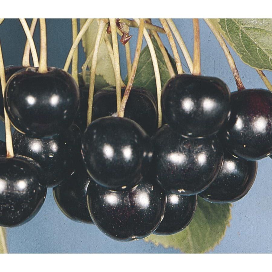 3.74-Gallon Black Tartarian Cherry Tree (L1256)