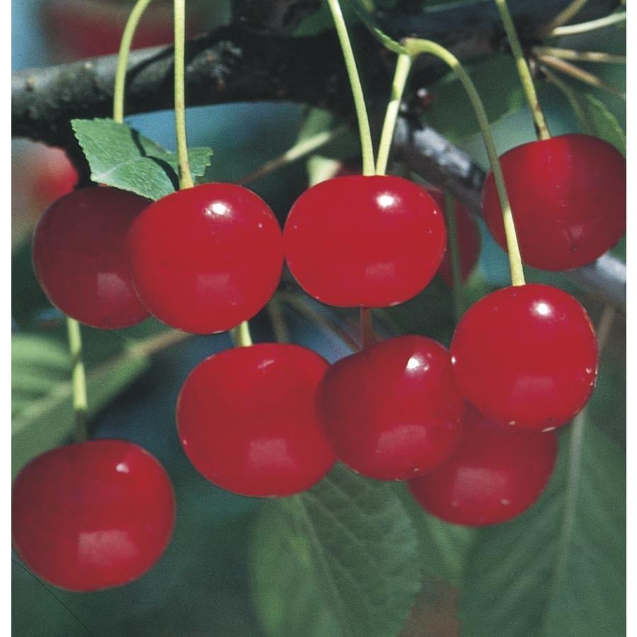 3.74-Gallon Montmorency Cherry Tree (L1400)