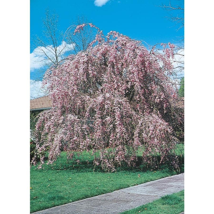 5.5-Gallon Weeping Cherry Feature Tree (L1010)