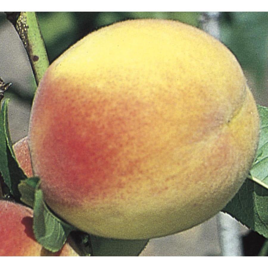 3.74-Gallon Hale Haven Peach Tree (L3225)