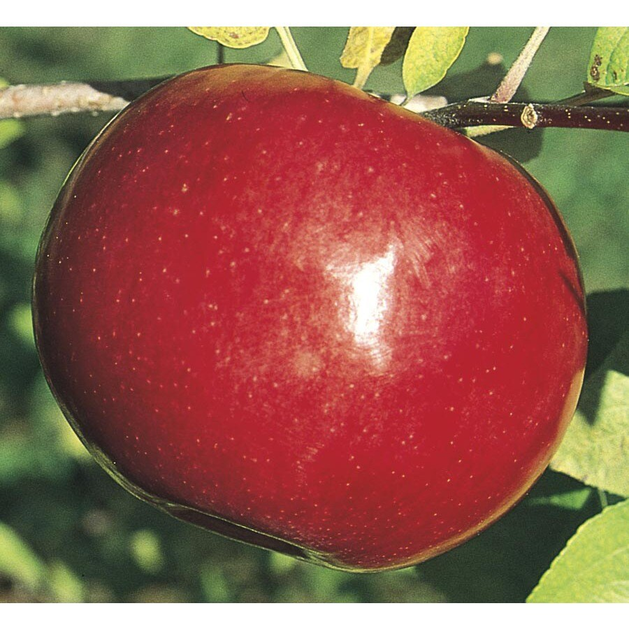 3.74-Gallon Mcintosh Apple Tree (L1305)