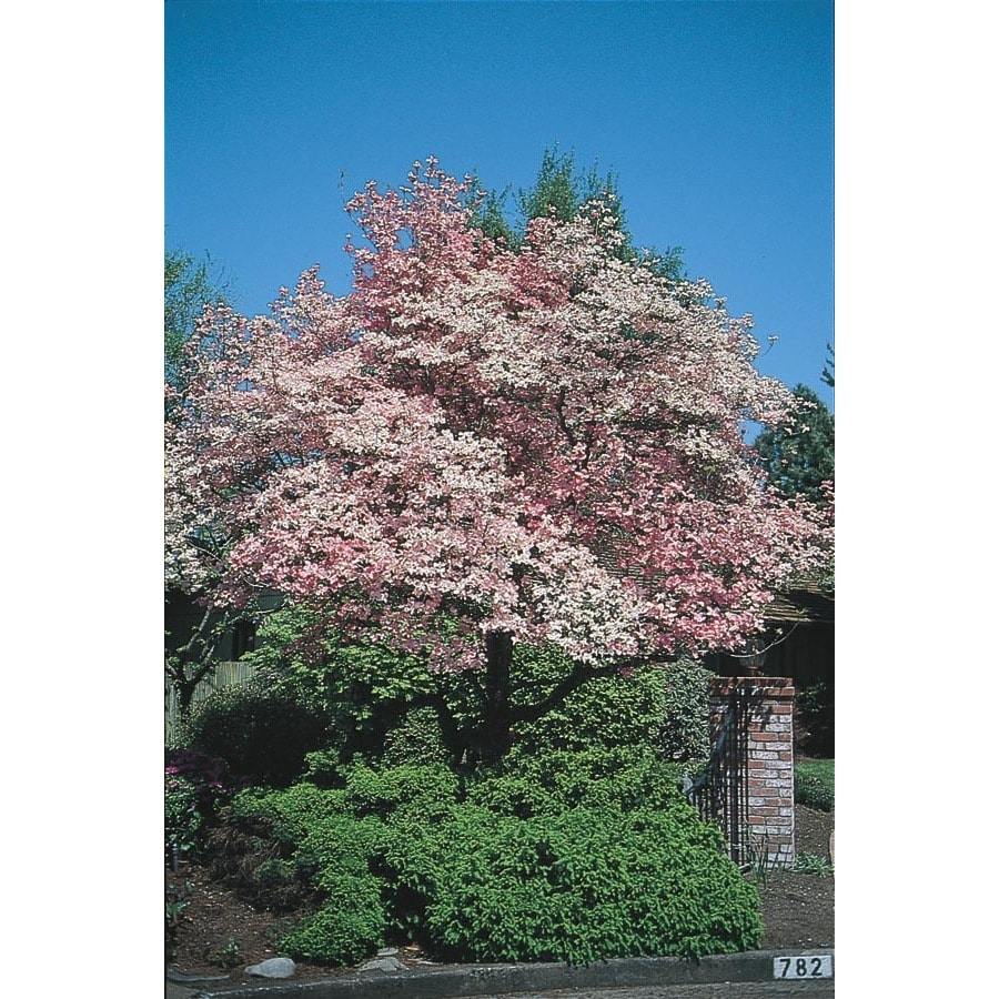 3.25-Gallon Red Flowering Dogwood Flowering Tree (L1022)