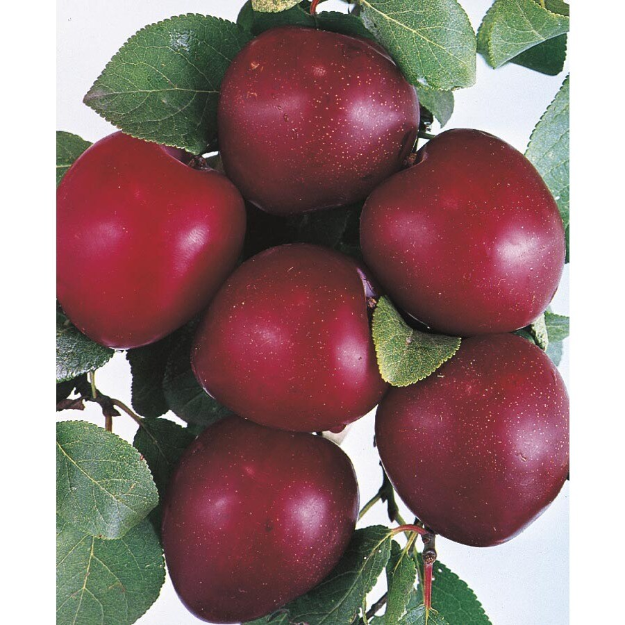 3.74-Gallon Methley Plum Tree (L1198)