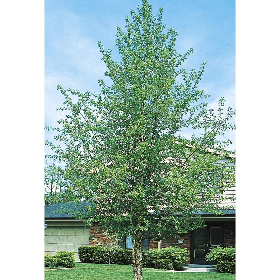 Shop 5 5 Gallon River Birch Feature Tree L1154 At Lowes Com