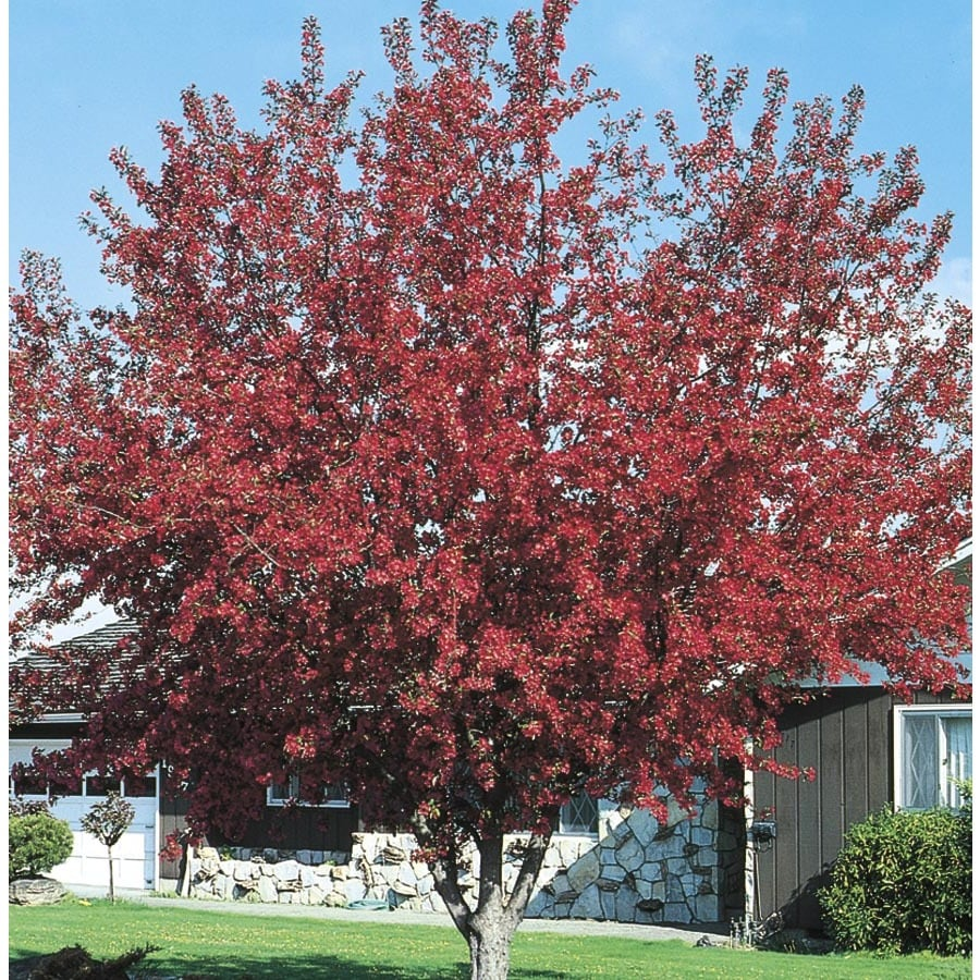 Shop 5 5 gallon red crabapple flowering tree l10751 at for Crabapple tree