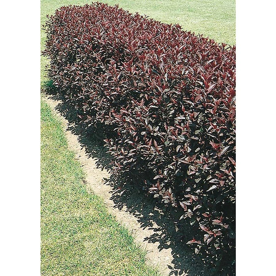 Deer bathroom decor - Shop 2 25 Gallon Purpleleaf Sand Cherry Bush Feature Tree