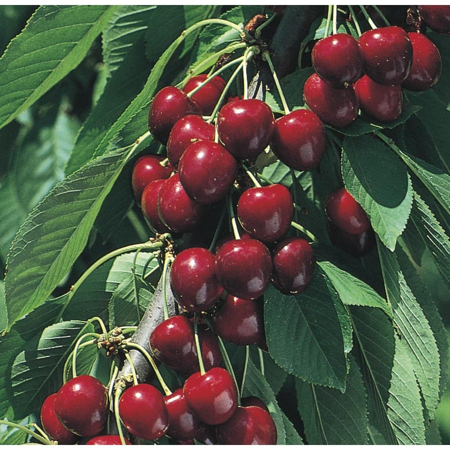 3.74-Gallon North Star Cherry Tree (L4546)