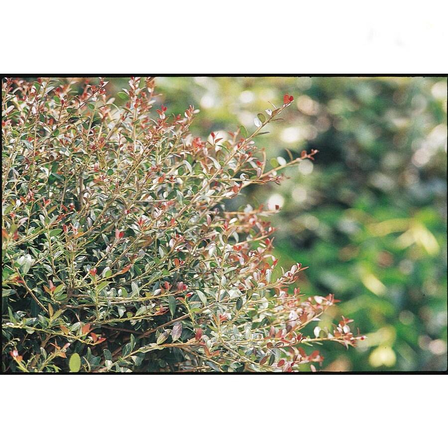2.25-Gallon Bordeaux Yaupon Holly Foundation/Hedge Shrub (L9231)