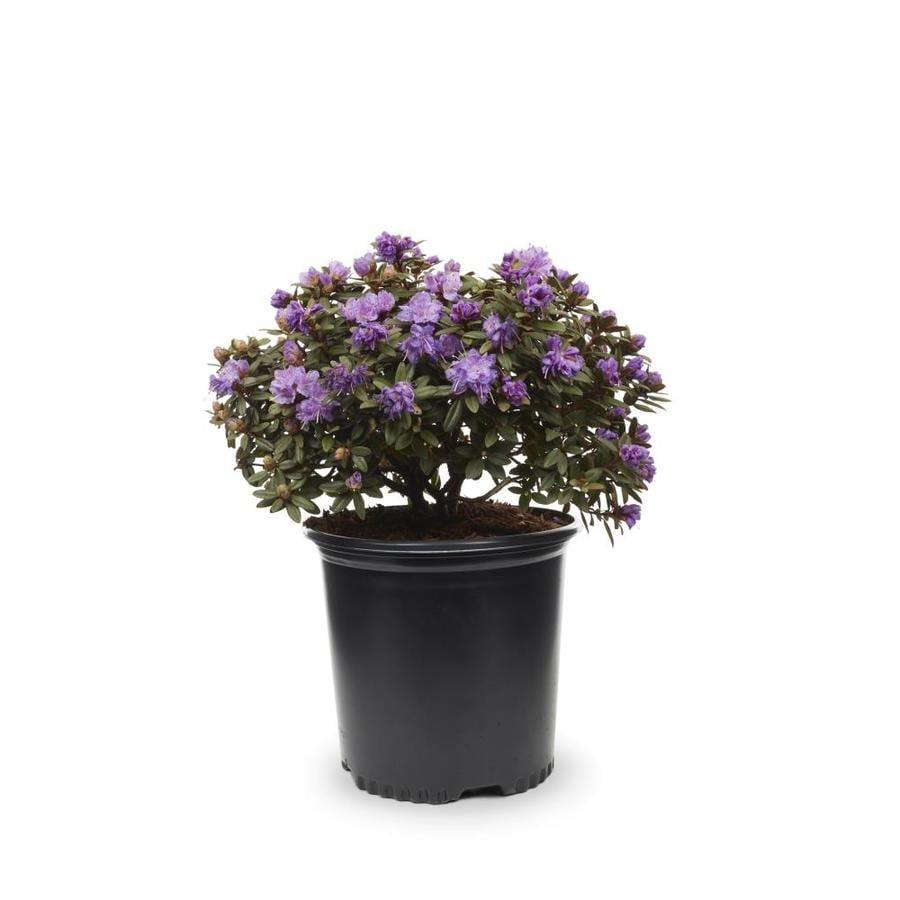 1.5-Gallon Mixed Rhododendron Flowering Shrub (L5420)