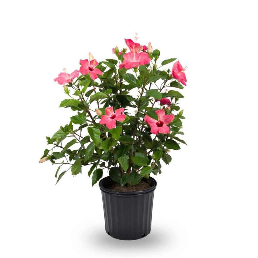 15 Gallon In Pot Hardy Hibiscus L2556 At Lowescom