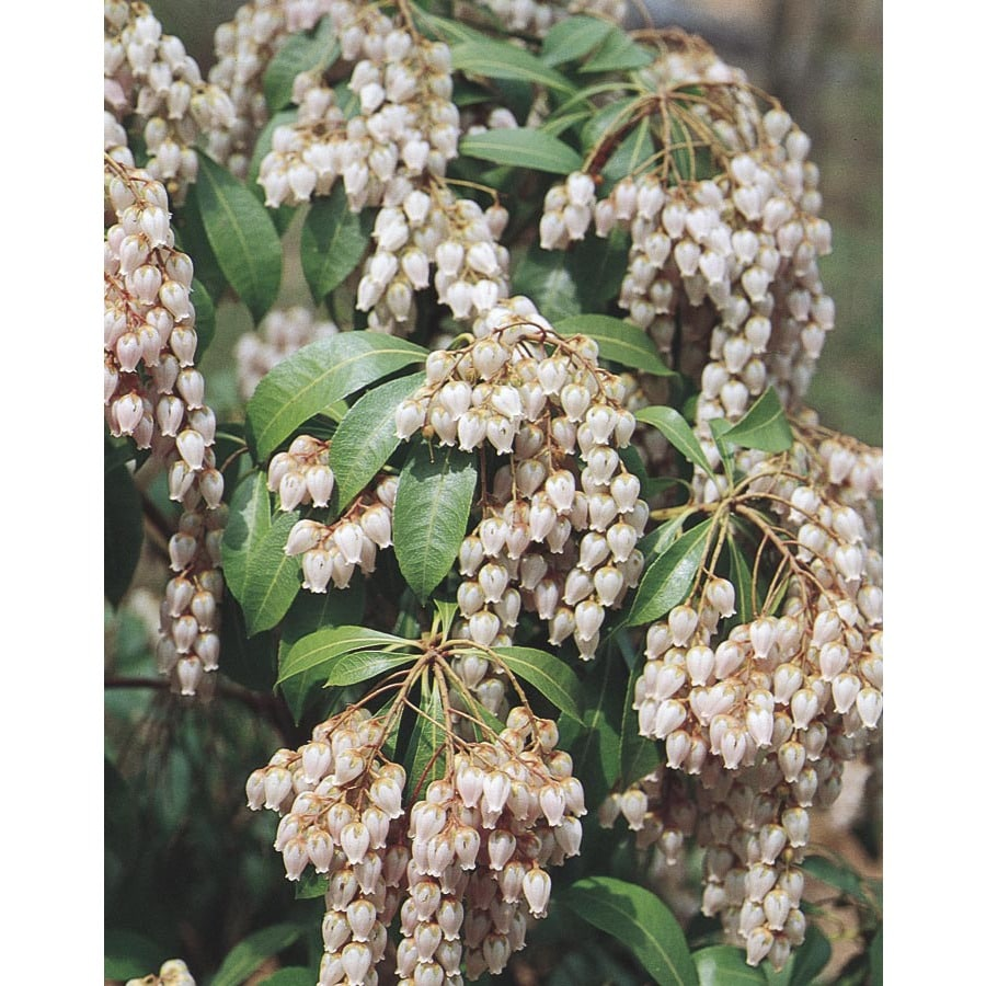 2.25-Gallon Mixed Japanese Pieris Flowering Shrub (L5402)