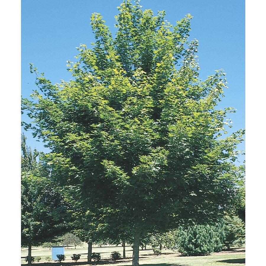 6-Gallon Red Maple Shade Tree (L1144)