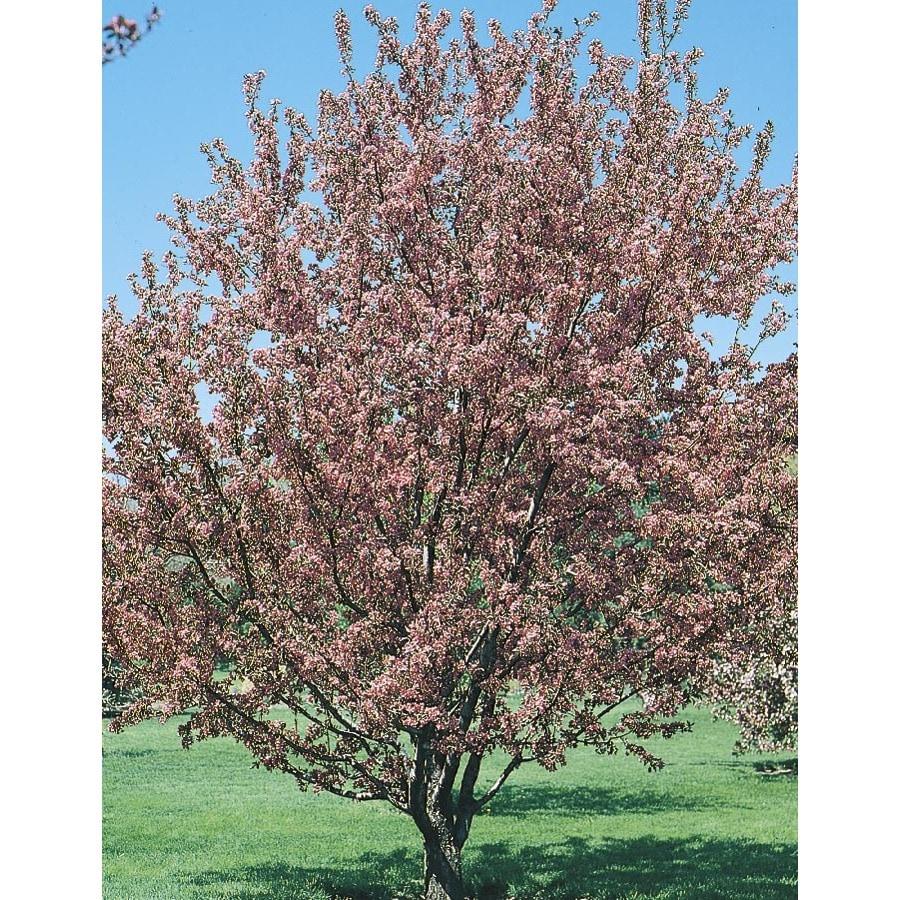 5.5-Gallon Flowering Crabapple Flowering Tree (L5985)