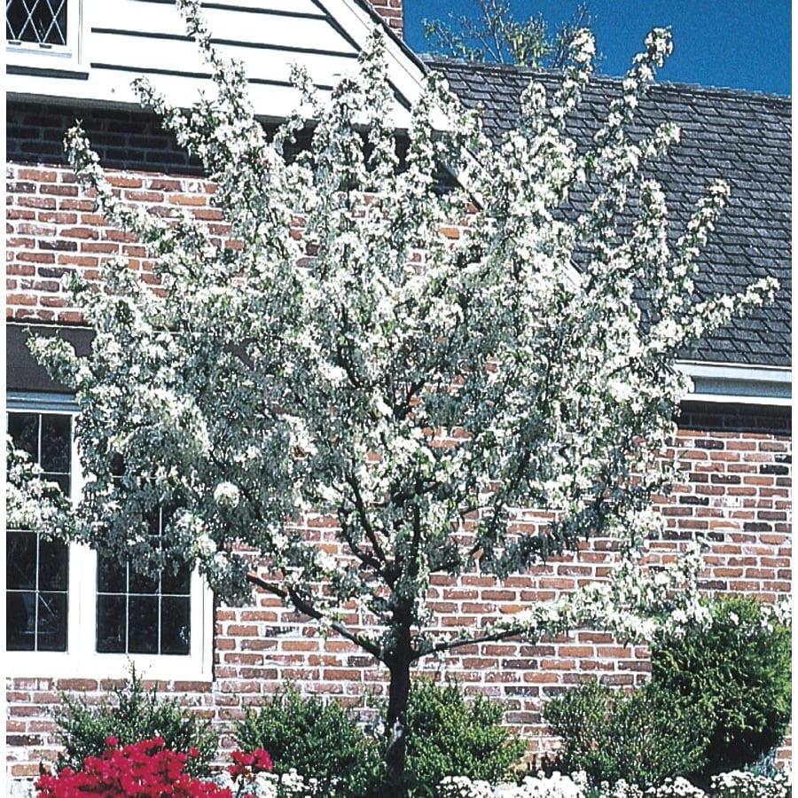 5.5-Gallon White Crabapple Flowering Tree (L10752)