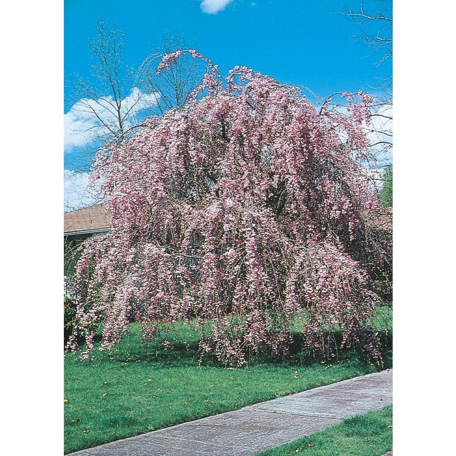 10.25-Gallon Weeping Cherry Feature Tree (L1010)