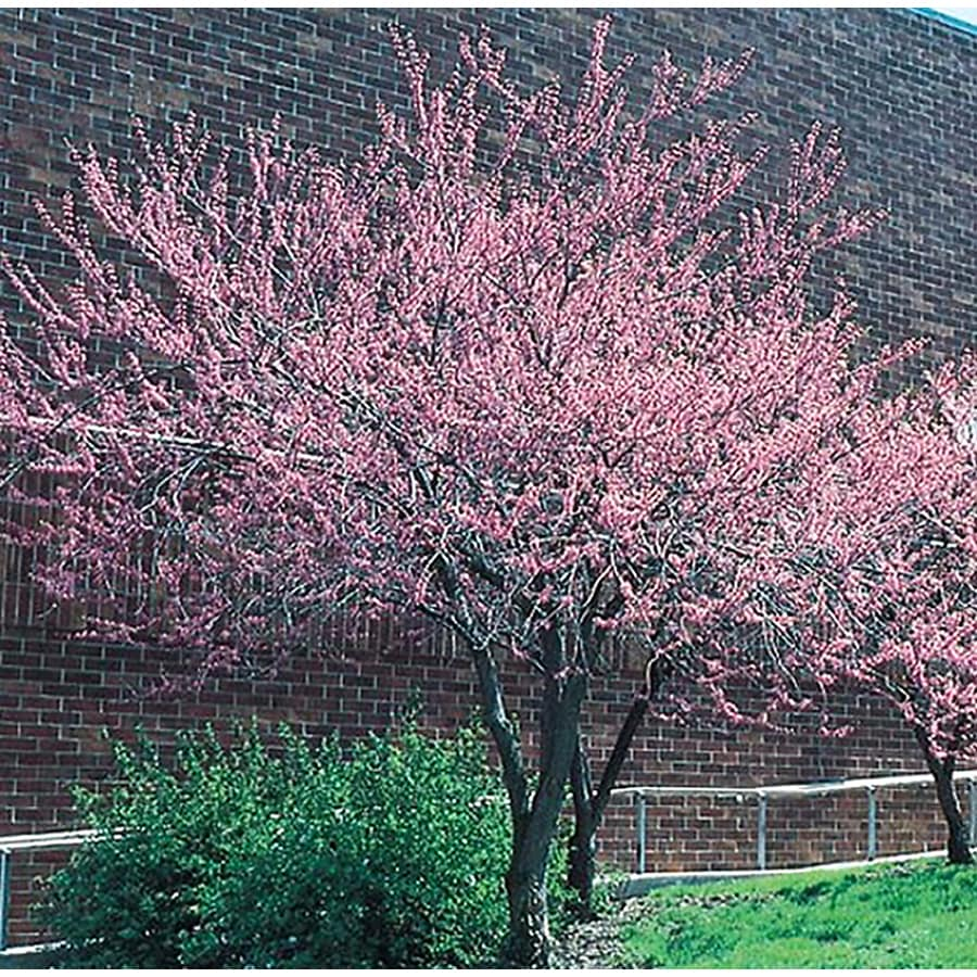 24.5-Gallon Redbud Flowering Tree (L11838)