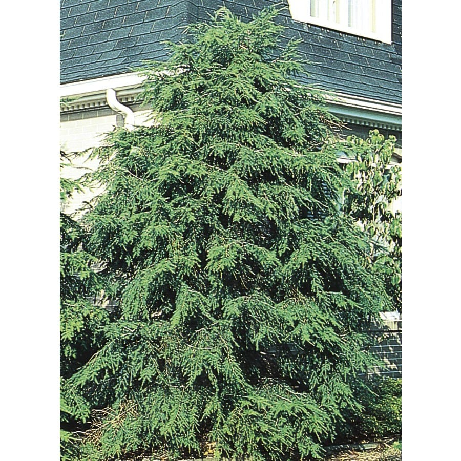 1.5-Gallon Canadian Hemlock Feature Tree (L1242)