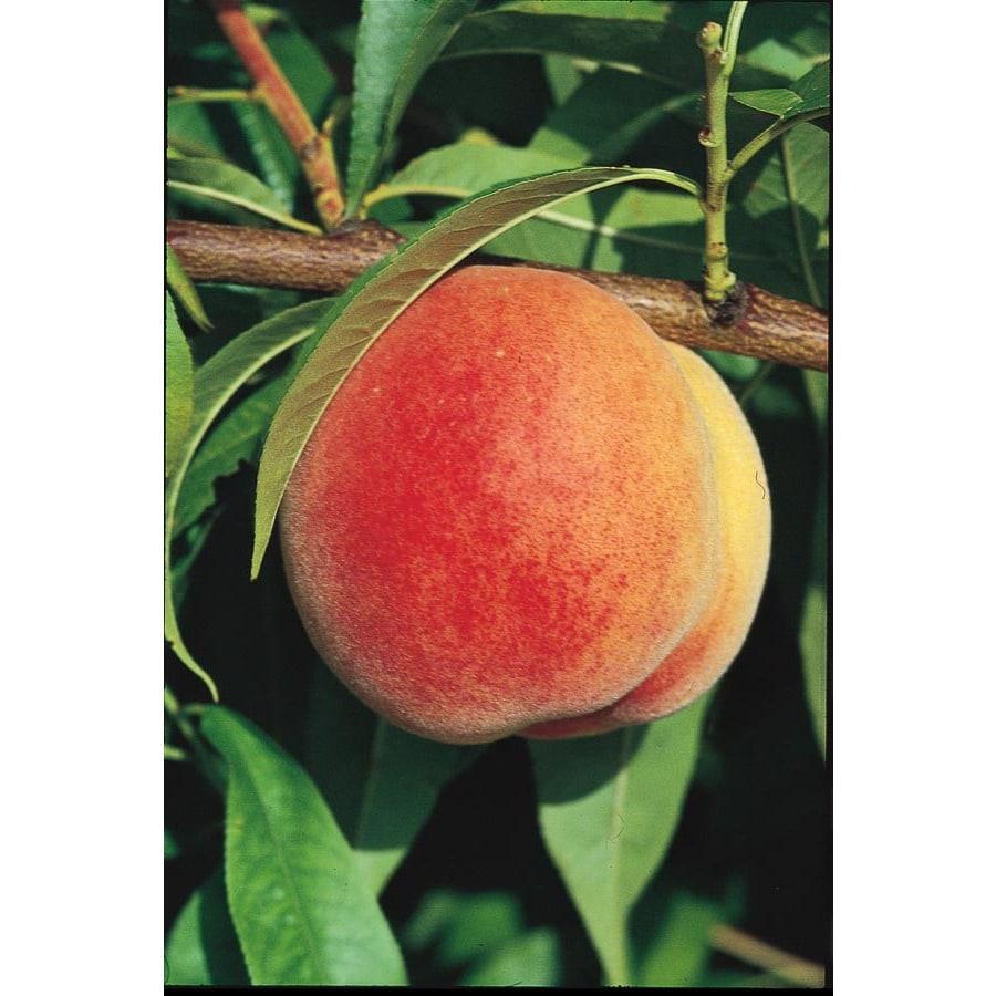 3.25-Gallon Super Sweet Peach Tree (LW01532)