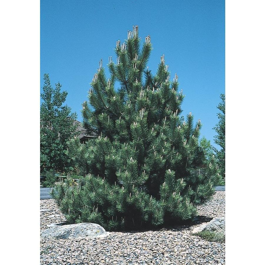 5.5-Gallon Austrian Black Pine Feature Tree (L3618)