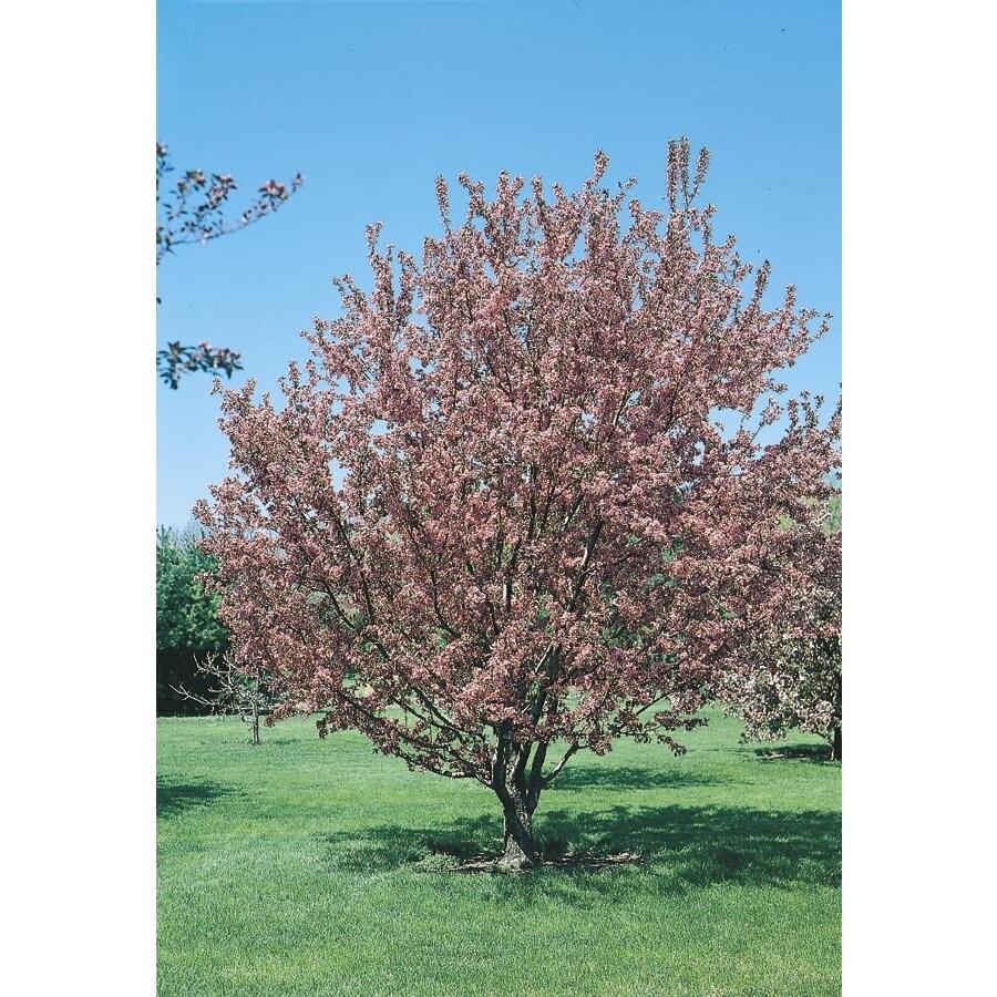 10.25-Gallon Flowering Crabapple Flowering Tree (L5985)