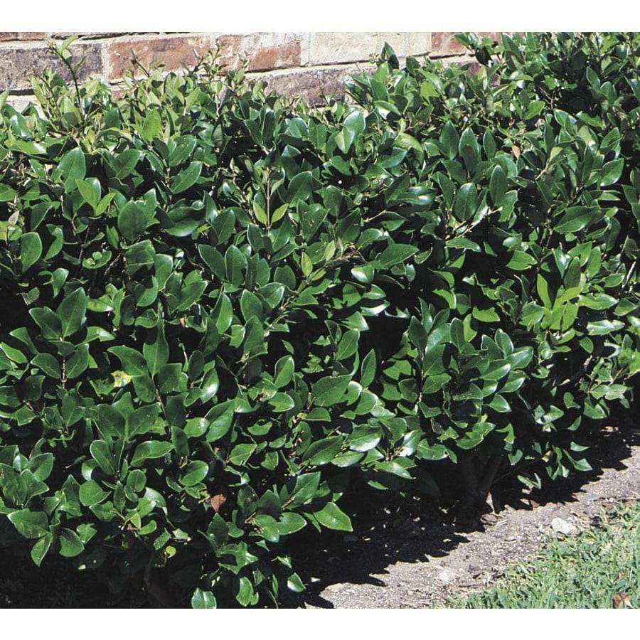 2.25-Gallon White Waxleaf Ligustrum Foundation/Hedge Shrub (L3255)