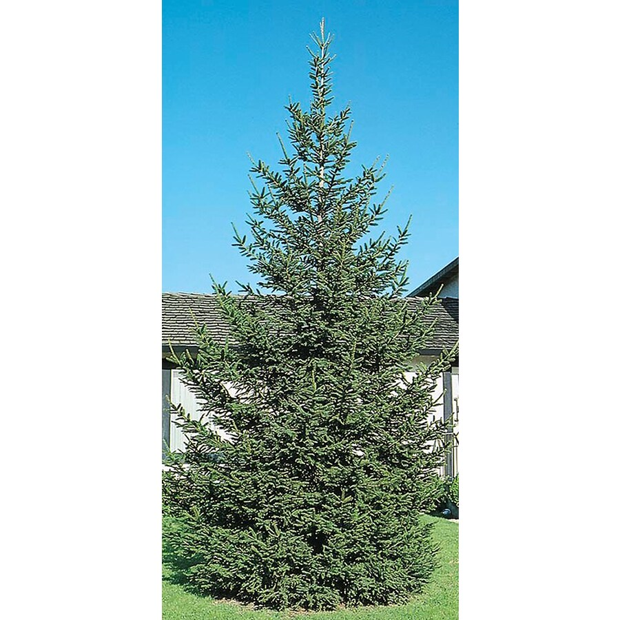 8.75-Gallon Norway Spruce Feature Tree (L1244)