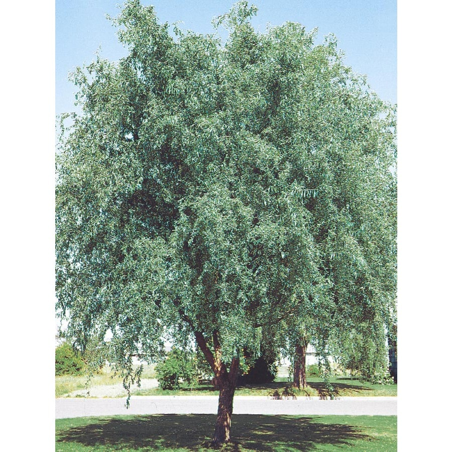 3.74-Gallon Corkscrew Willow Feature Tree (L4390)