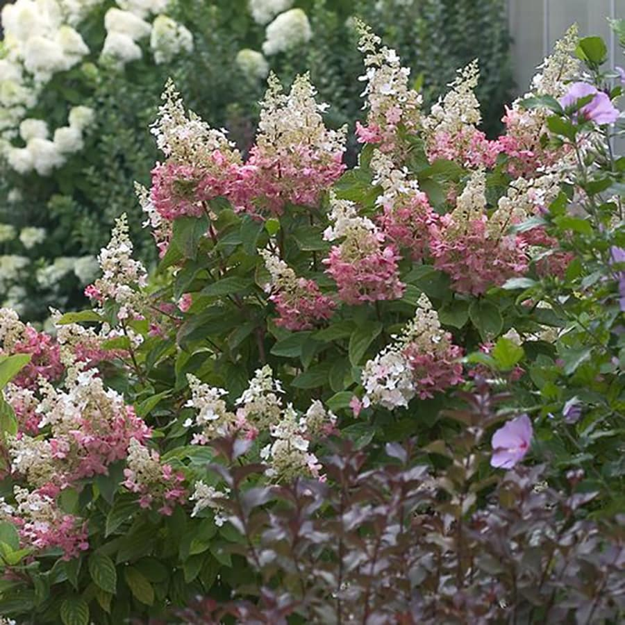 2-Gallon Mixed Hardy Hydrangea Flowering Shrub