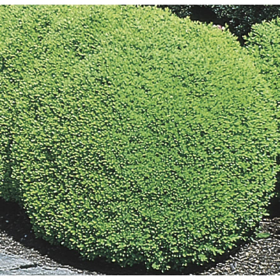 3.63-Gallon Green Mountain Boxwood Foundation/Hedge Shrub (L7204)