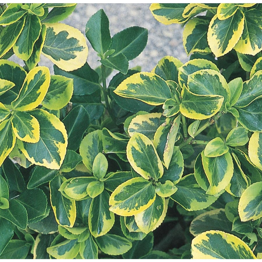 Canadale Gold Euonymus Accent Shrub In Pot With Soil