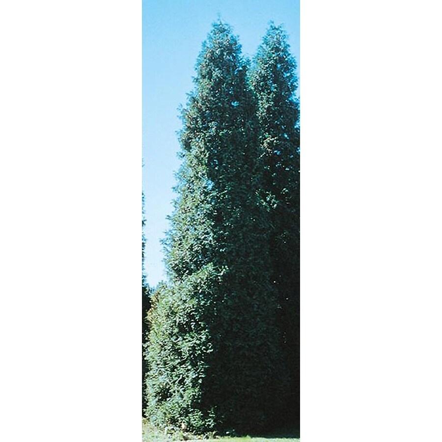 5.5-Gallon Green Giant Arborvitae Screening Shrub (LW01577)