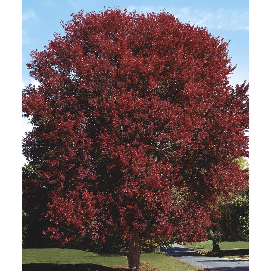 3.74-Gallon Burgundy Belle Maple Shade Tree (L2079)