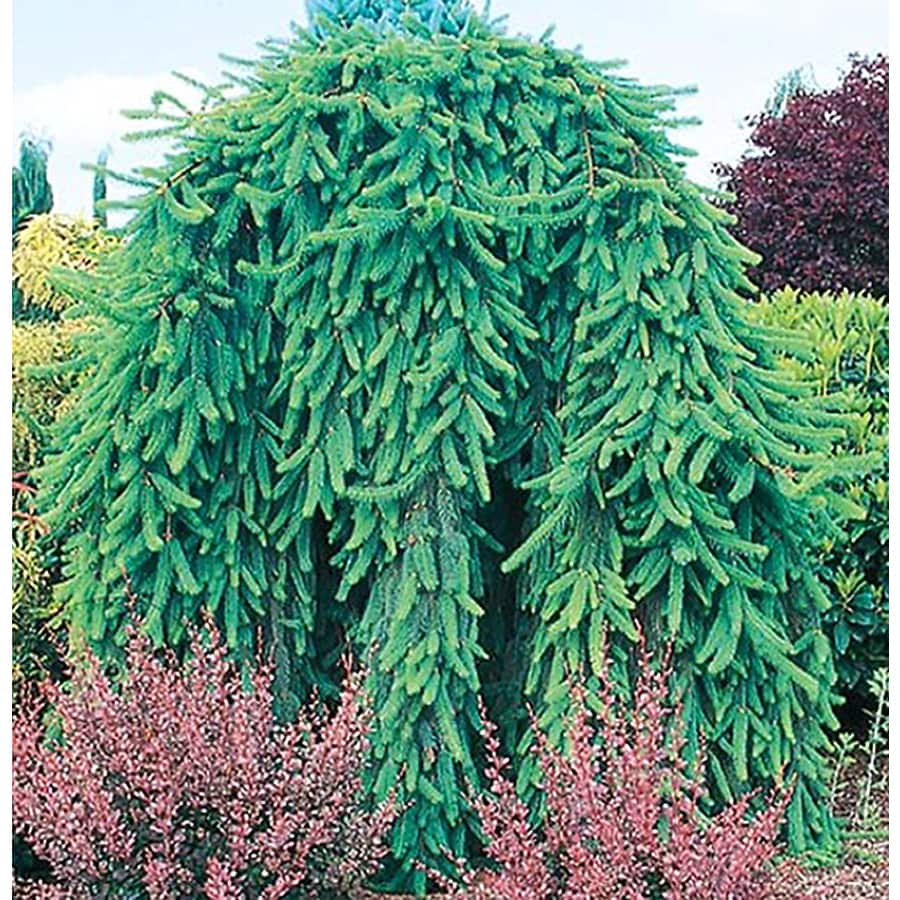 5.5-Gallon Weeping Norway Spruce Feature Shrub (L4097)