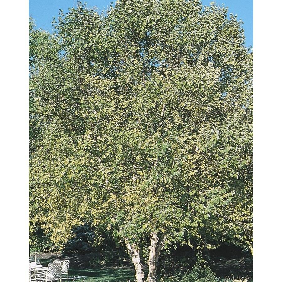 3.25-Gallon Clump River Birch Feature Tree (L1131)