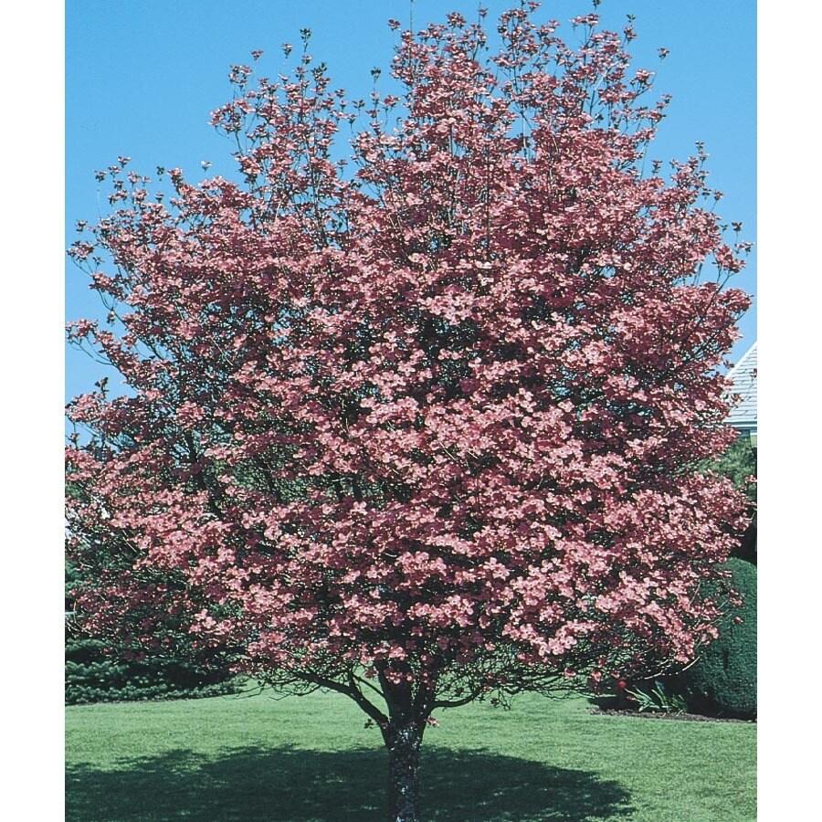 6.08-Gallon Pink Crabapple Flowering Tree (L7002)