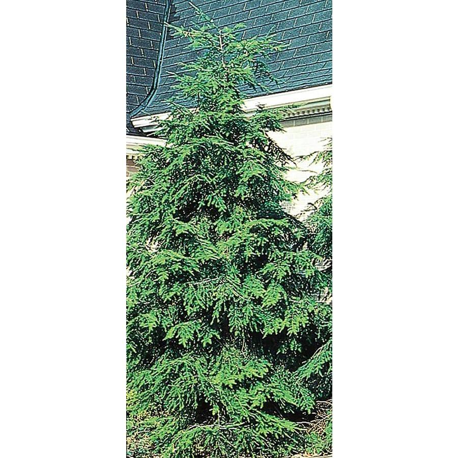 3.25-Gallon Canadian Hemlock Feature Tree (L1242)