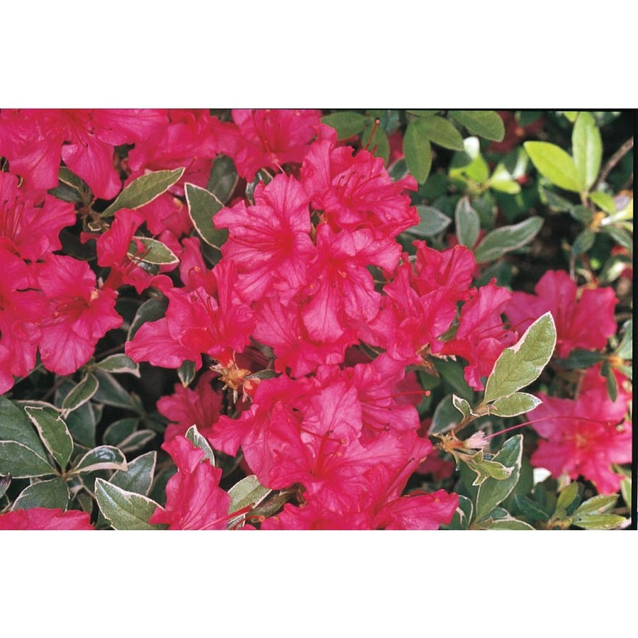 2.25-Gallon Mixed Variegated Azalea Flowering Shrub (L3288)