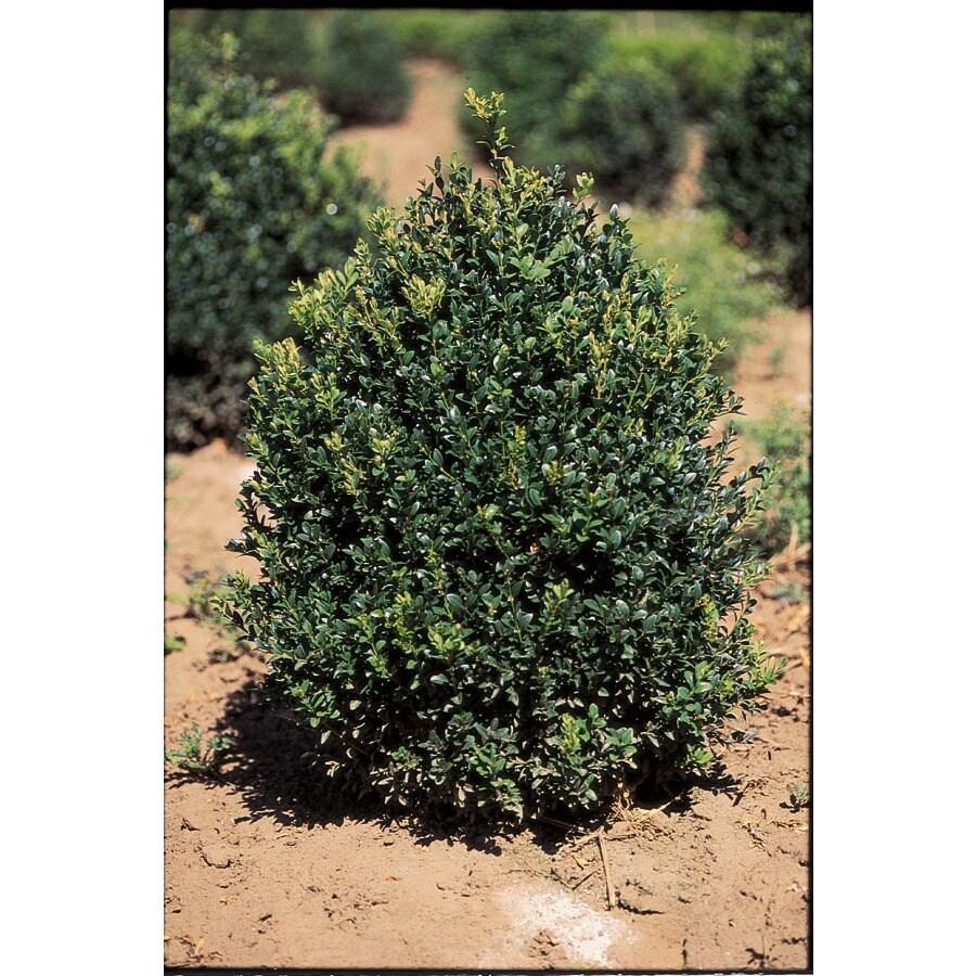 5.5-Gallon Pyramidal English Boxwood Feature Shrub (LW02707)