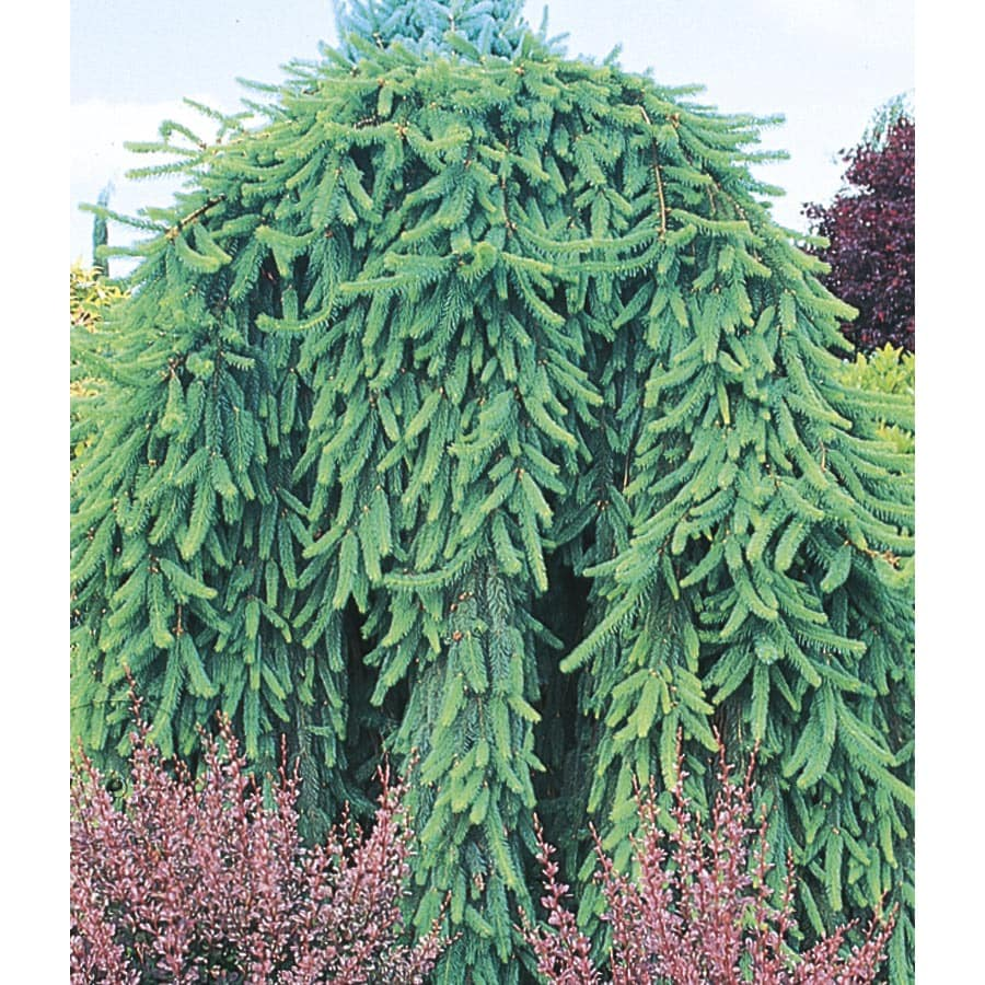 6-Gallon Weeping Norway Spruce Feature Shrub (L4097)