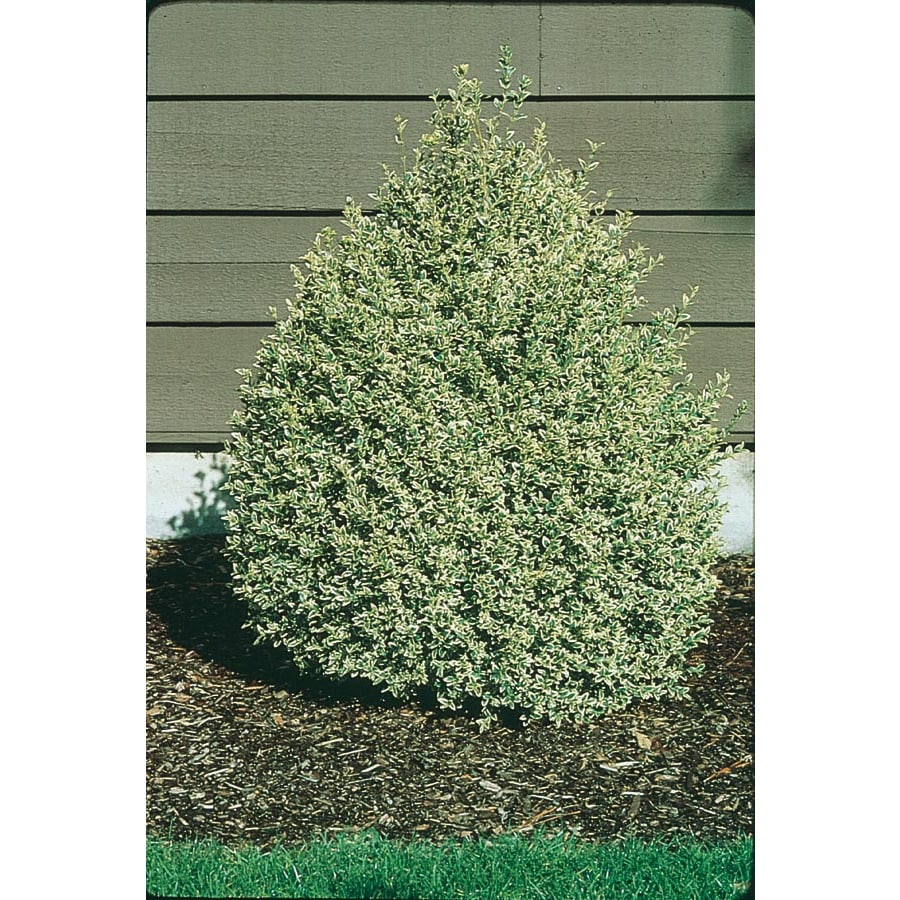Variegated Boxwood Foundation Hedge Shrub In Pot With