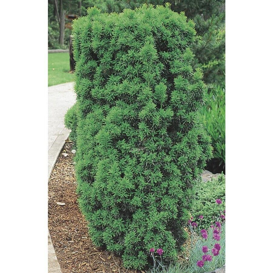 3.63-Gallon Upright Yew Foundation/Hedge Shrub (L4609)