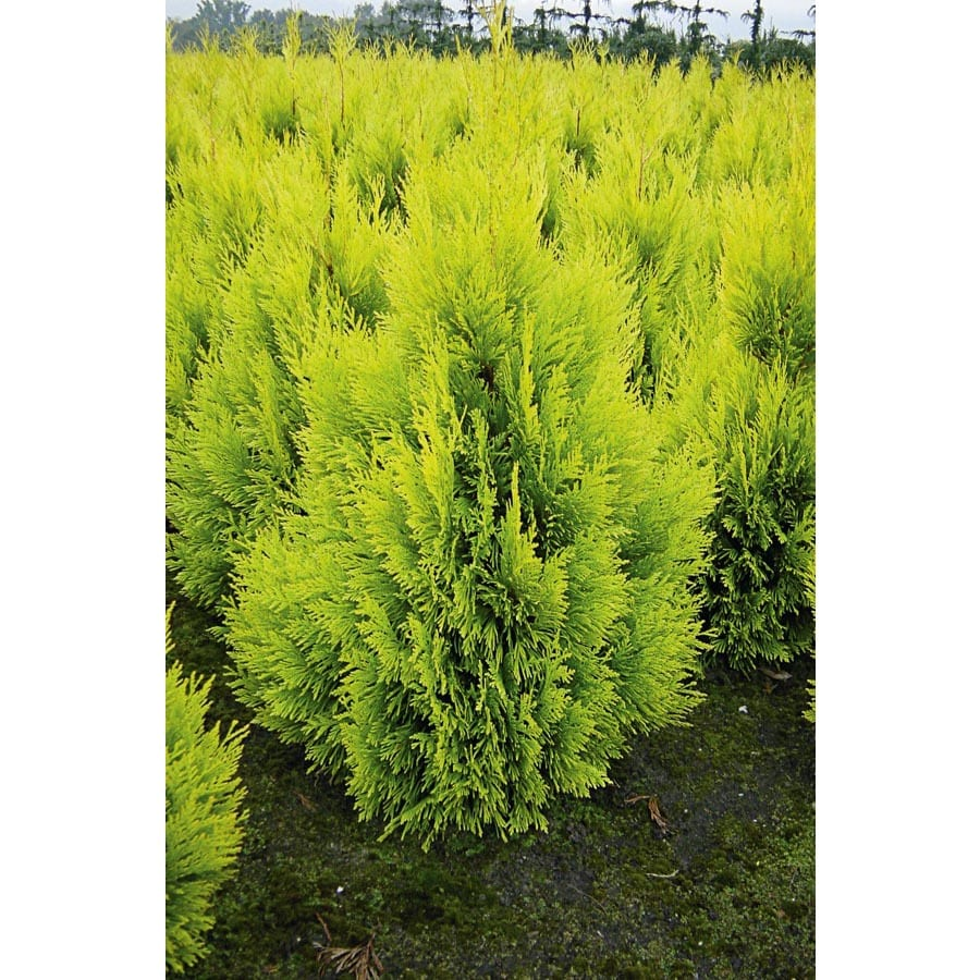 2.25-Gallon Forever Gold Arborvitae Feature Shrub (L21565)