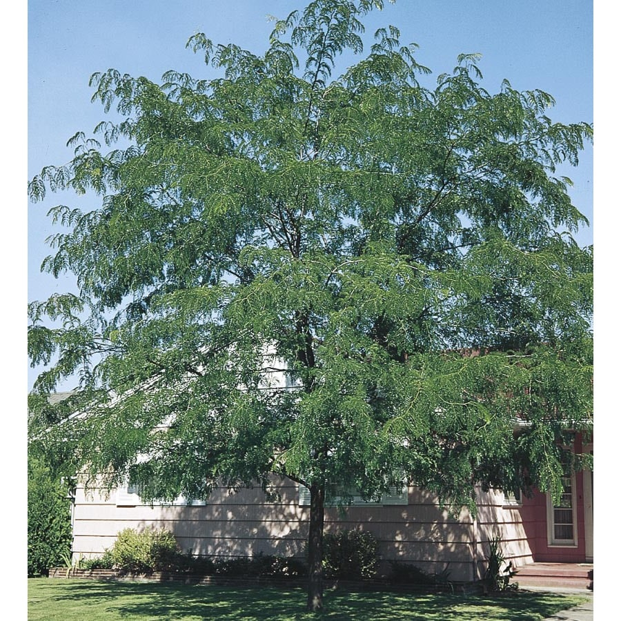 6.08-Gallon Thornless Honeylocust Shade Tree (L4491)