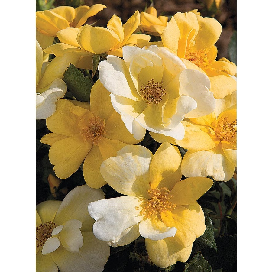 2.25-Gallon Sunny Knock Out Rose (L20529)