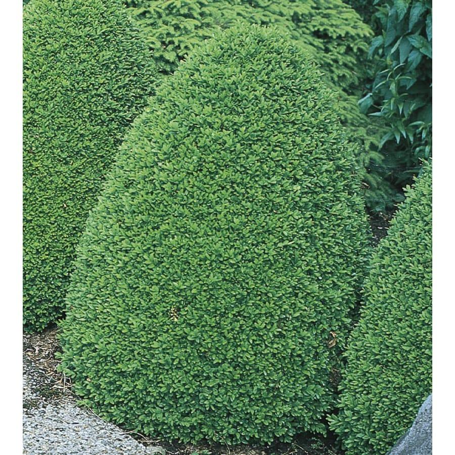 3.63-Gallon Common Boxwood Foundation/Hedge Shrub (L2572)