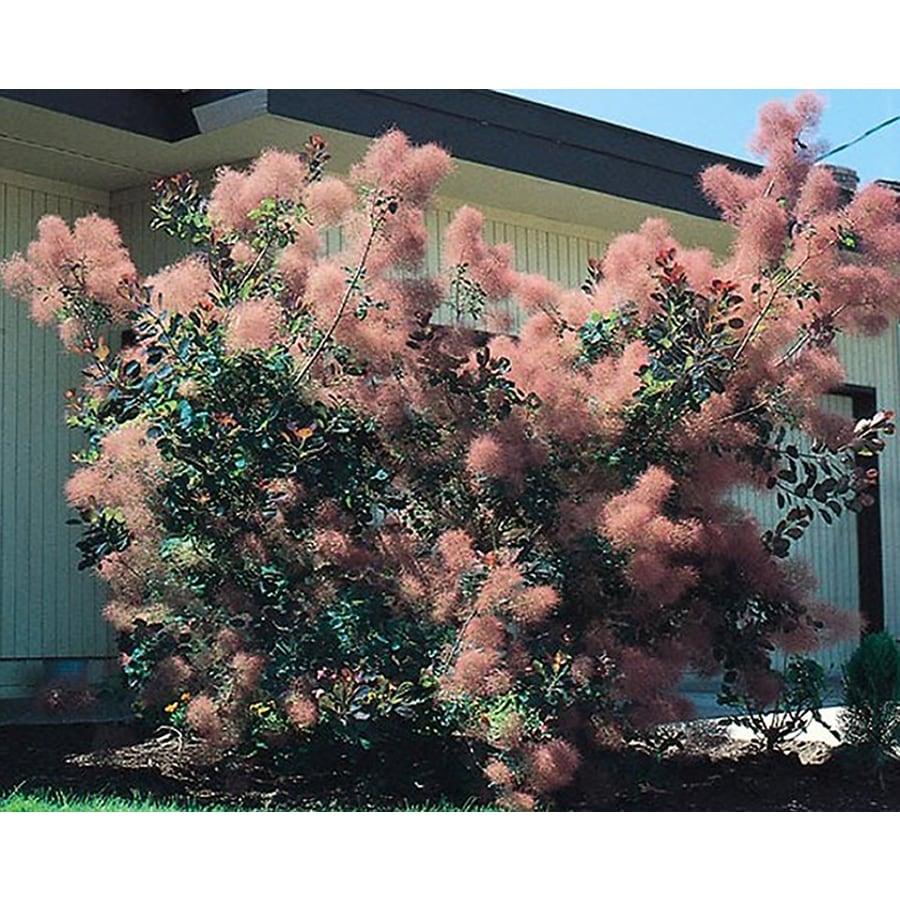 5.5-Gallon Pink Smoke Tree Feature Shrub (L4697)