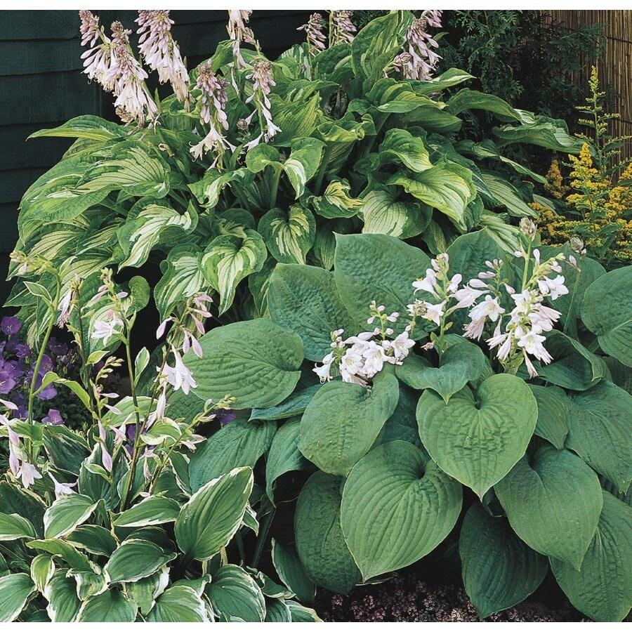 1.5-Gallon Plantain Lily (Lb029)