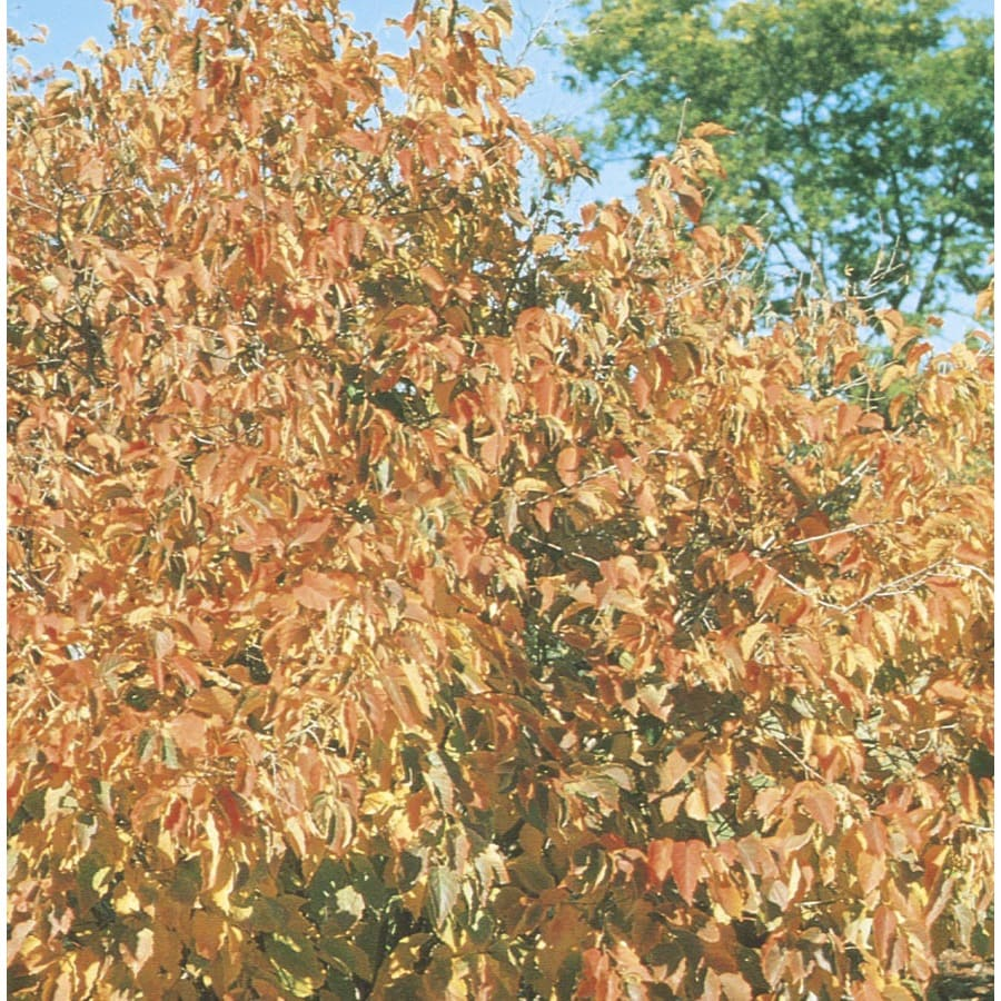 5-Gallon Hazelnut Shade Tree (L4902)