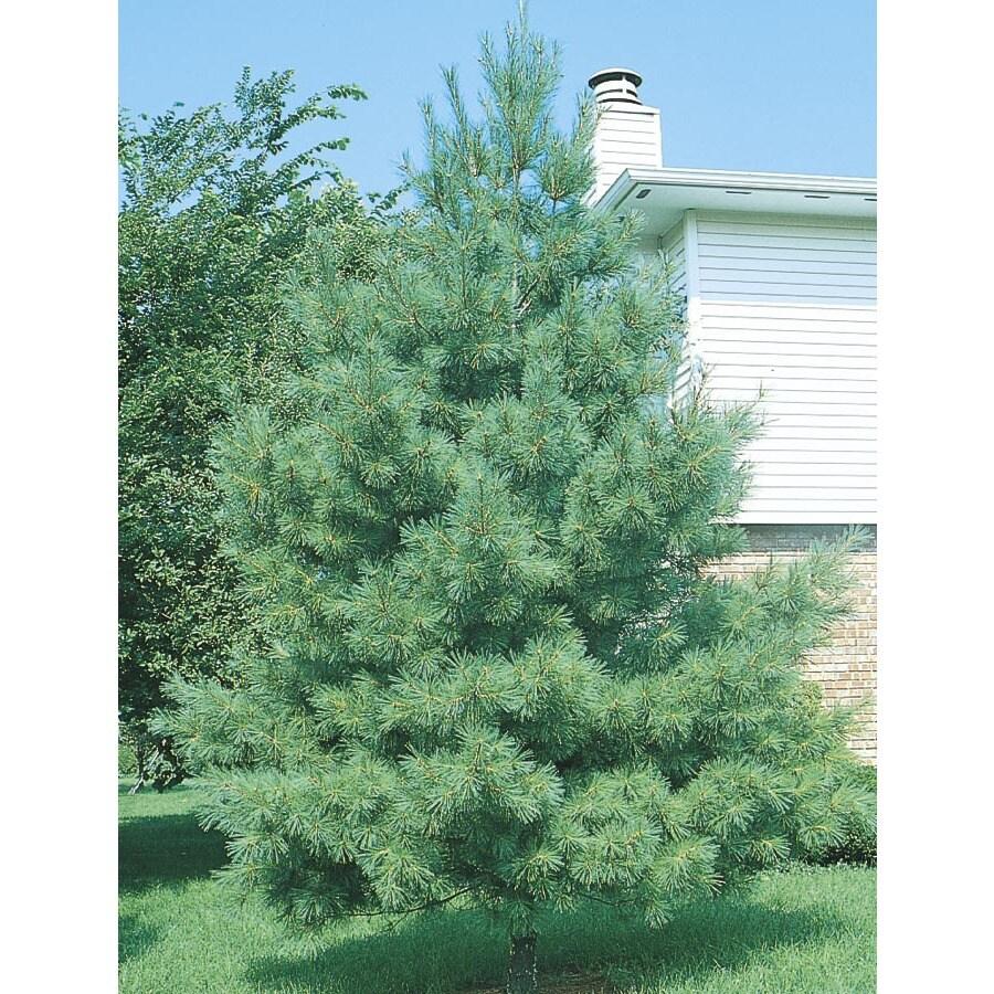 12.68-Gallon Eastern White Pine Screening Tree (L3619)