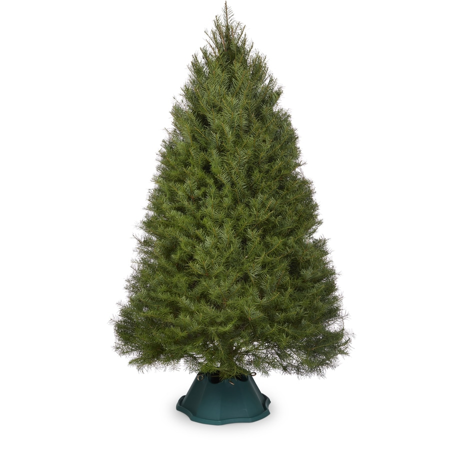 8 9 ft fresh douglas fir christmas tree - 8 Ft Christmas Tree